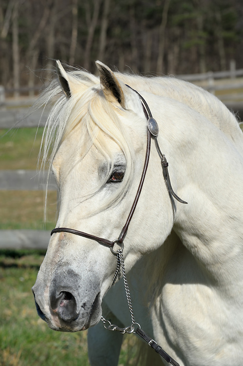 "White horse head shot portrait with long flowing forelock hair, beautiful Arabian stallion ""EC Special Edition aka Solly""."