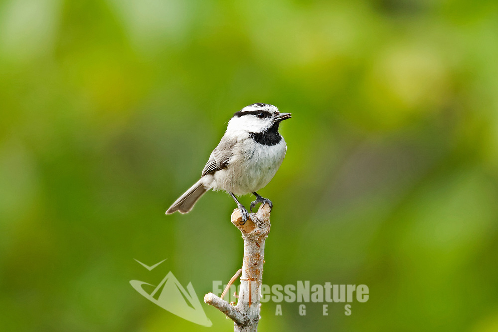 A Mountain Chickadee perches on a lone branch with a bill full of weed seeds it gathered from the ground below.