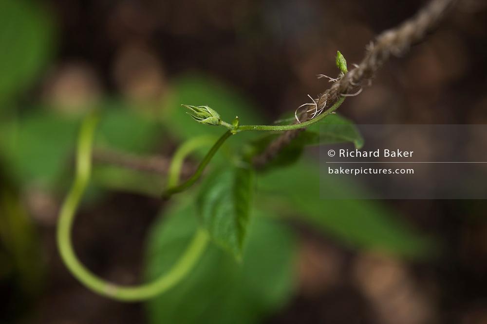 Detail of green shoots of growing runner bean plant in back garden.