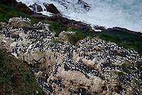 Common Murre (Uria aalge) gathered on rock,  Point Reyes National Seashore , California, USA