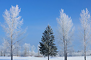 Trees covered in hoarfrost<br /> Birds Hill Provincial Park<br /> Manitoba<br /> Canada