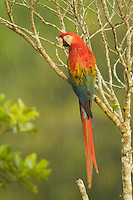 Scarlet Macaw (Ara macao) near the canopy tower at the Tiputini Biodiversity Station, Orellana Province, Ecuador