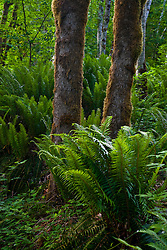 Sword ferns, red alder, and big leaf maple grow abundantly in a lush temperate forest, Kitsap Peninsula, Puget Sound, WA, USA