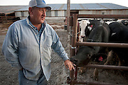 Illinois farmer Gordon Stine checks on a nephew's steers, which are being fattened for slaughter on an adjacent farm in St. Elmo, Illinois. (From the book What I Eat: Around the World in 80 Diets.) The proportion of income spent on food in the United States has declined steadily since the 1950s and is now among the lowest in the world. MODEL RELEASED.