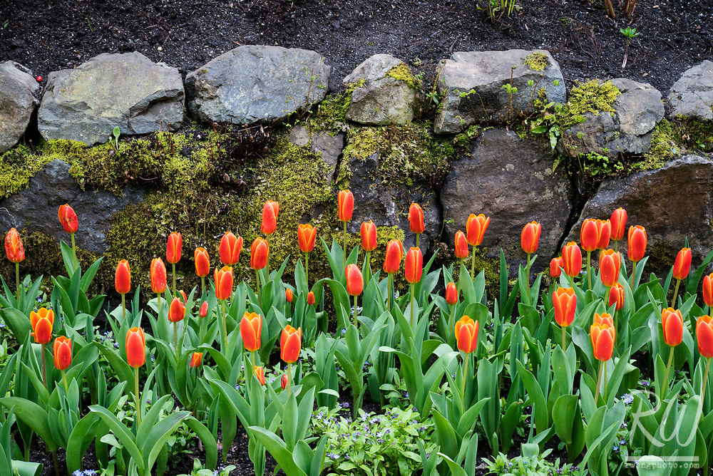 Tulips in Bloom at The Butchart Gardens, Vancouver Island, B.C, Canada