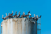 flock of pelicans on oil rig in the peruvian coast at Piura Peru