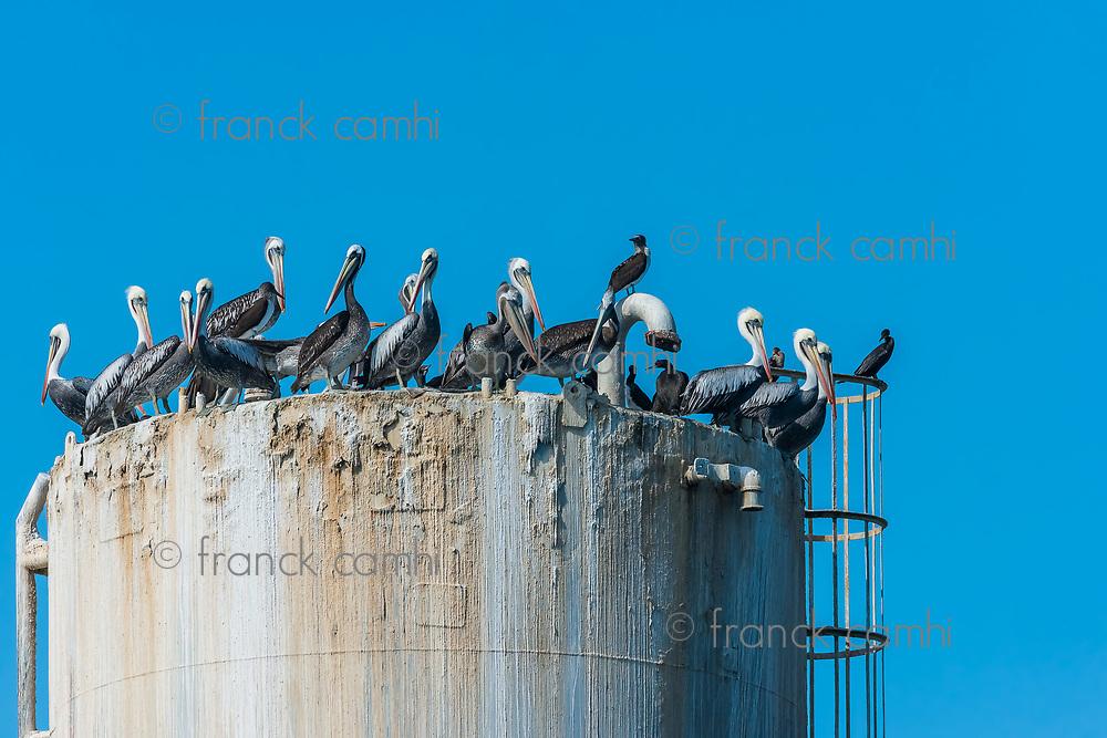 flock of pelicans on oil rig in the peruvian coast at Piura Peru