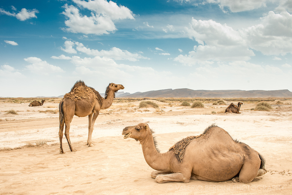Camels are free to roam to their pasture in the desert. They walk out in the morning and come back to their night shelter in the evening.