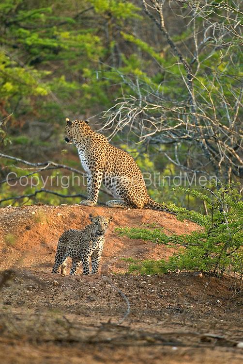 Leopard Mother and Cub in Yala, Sri Lanka