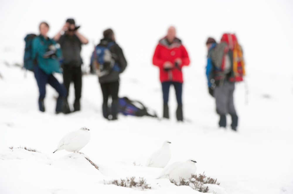 Ptarmigan (lagopus mutus) in winter plumage with hill walkers in background, Cairngorms, Scotland, February