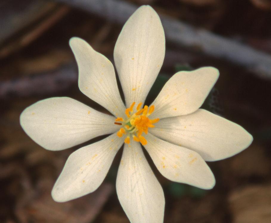 Spring, Pennsylvania Wildflowers, Bloodroot