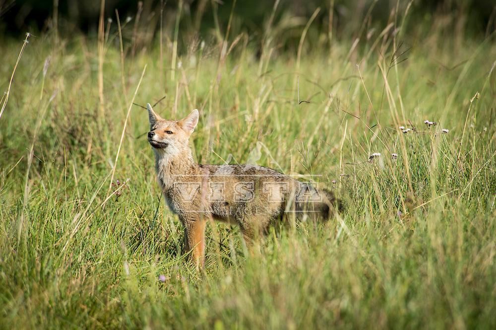 Graxaim-do-campo (Lycalopex gymnocercus), Cânion Fortaleza, Parque Nacional da Serra Geral, Cambará do Sul, Rio Grande do Sul, foto de Zé Paiva - Vista Imagens