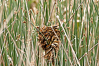 Marsh Wren builds its nest in the cattails it weaves wet reeds to the cattail stems to build its nest.