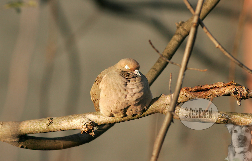 11/11/2004 - Somerville NJ - A mourning dove, Zenaida Macroura, rests its eyes in a bare tree as winter approaches...Jack Howard Photograph