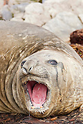 A southern elephant seal opens it mouth and bellows