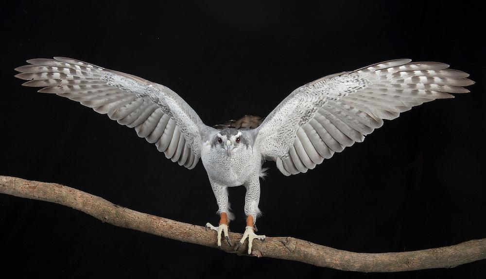 Goshawk, (Accipiter gentilis), captive