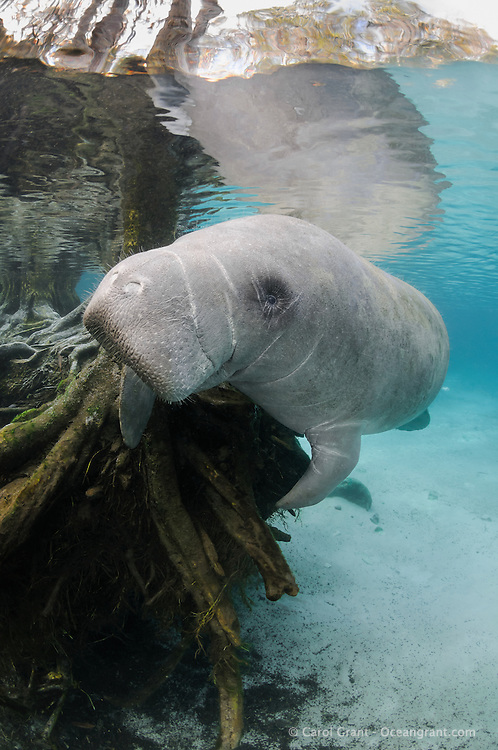 Florida manatee, Trichechus manatus latirostris, a subspecies of the West Indian manatee, endangered. A manatee pauses near submerged tree roots in the warm blue freshwater springs. Vertical orientation with reflection. Three Sisters Springs, Crystal River National Wildlife Refuge, Kings Bay, Crystal River, Citrus County, Florida USA.