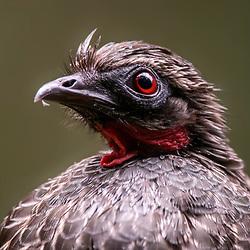 Jacus, faisões, perdizes - Galliformes /  Guans, pheasants, partridges