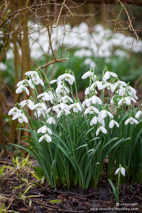Galanthus 'S. Arnott' AGM syn. Galanthus nivalis 'Sam Arnott'. Snowdrops.