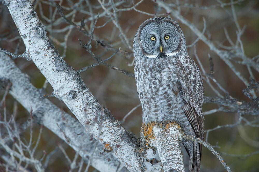 A great gray owl (Strix nebulosa) perched on an aspen tree, Missoula, Montana