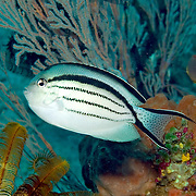 Blackstripe Angelfish inhabit reefs; picture taken Komodo, Indonesia