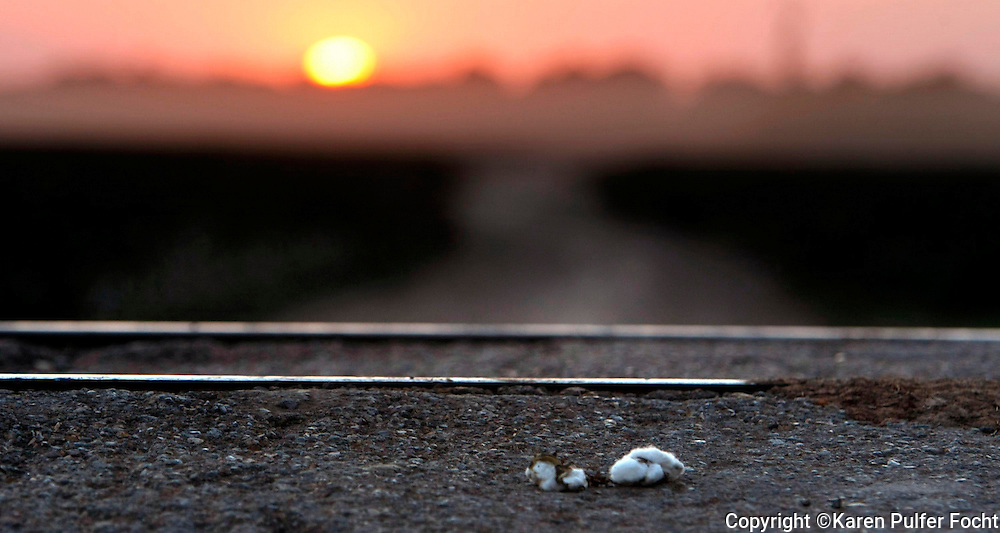 A boll of cotton lies along the road near a railroad track after falling off of a truck which has been hauling some of the harvest.  3,500 acres of cotton line the long, lonely dusty roads surrounding the Hopson plantation which was once harvested with hundreds of mules and their handlers while they sang work songs. The blues sprouted up on this hallowed ground, out of the pain of those who worked the land in Clarksdale, Mississippi.