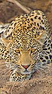 Alberto Carrera, Leopard, Panthera pardus, Kruger National Park, Mpumalanga, South Africa, Africa