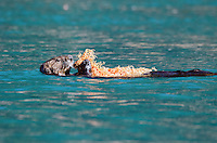 Sea Otter feeding on a basket star in the Inian Islands in Southeast Alaska.