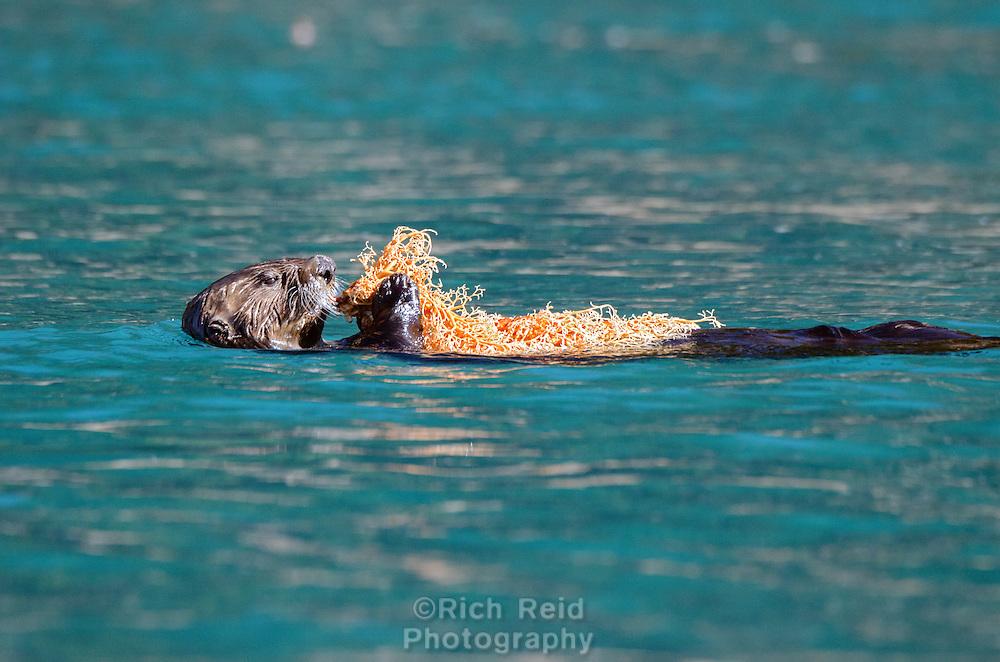 Sea Otter feeding on a basket star in the Inian Islands in Southeast Alaska.