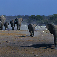 Herd of elephants running toward a water hole in Etosha National Park Namibia.