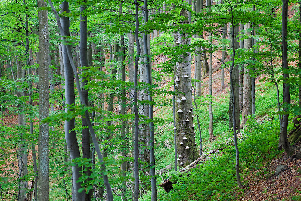 Beech Forest, Fagus sylvatica, Stuzica primeval Forest, Unesco World Heritage Site, Poloniny National park, Western Carpathians, Slovakia, Europe
