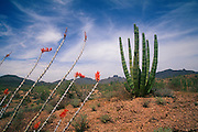Ocotillo in bloom. Organ Pipe Cactus National Monument.