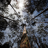Australia, New South Wales, Spotted Gum Forest, Murramarang National Park, Eucalyptus forest