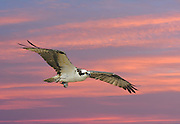 Osprey flying with a partial eaten fish in its claw at sunrise