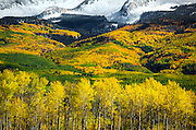SHOT 10/2/14 3:14:59 PM - Aspen leaves changing colors along Kebler Pass just outside of Crested Butte, Co. with a backdrop of snow covered mountains. Aspens are trees of the willow family and comprise a section of the poplar genus, Populus sect. Populus. The Quaking Aspen of North America is known for its leaves turning spectacular tints of red and yellow in the autumn of the year (and usually in the early autumn at the altitudes where it lives). This causes forests of aspen trees to be noted tourist attractions for viewing them in the fall. These aspens are found as far south as the San Bernardino Mountains of Southern California, though they are most famous for growing in Colorado. Autumn leaf color is a phenomenon that affects the normally green leaves of many deciduous trees and shrubs by which they take on, during a few weeks in the autumn months, one or many colors that range from red to yellow. The phenomenon is commonly called fall colors and autumn colors, while the expression fall foliage usually connotes the viewing of a tree or forest whose leaves have undergone the change. In some areas in the United States &quot;leaf peeping&quot; tourism between the beginning of color changes and the onset of leaf fall, or scheduled in hope of coinciding with that period, is a major contribution to economic activity.<br /> (Photo by Marc Piscotty / &copy; 2014)
