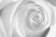 Single white rose<br /> Winnipeg<br /> Manitoba<br /> Canada