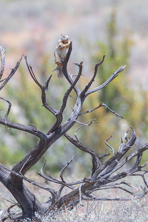 A rock squirrel (Spermophilus variegatus) climbs on mesquite on a cliff overlooking Montezuma Well in Montezuma Castle National Monument near Camp Verde, Arizona. The rock squirrel belongs to the ground squirrel family, although it is known to climb trees and boulders.