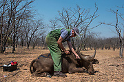 Darted Buffalo (Syncerus caffer)<br /> Cahora Bassa<br /> MOZAMBIQUE, Africa<br /> Buffalo darted from helicopter for blood and Probang (throat scrape) samples to test for foot-and-mouth disease to prepare localized vaccines for regionally different foot-and-mouth strains.