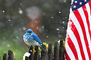 RED, WHITE &amp; BLUE:  Male mountain bluebird (Sialia currucoides) watchers the 4th of July parade in Lincoln, Montana. Summer snowstorms, which are annual occurrence in this part of the species range, strongly delimit distribution of its main competitor &ndash; Western Bluebird.<br />