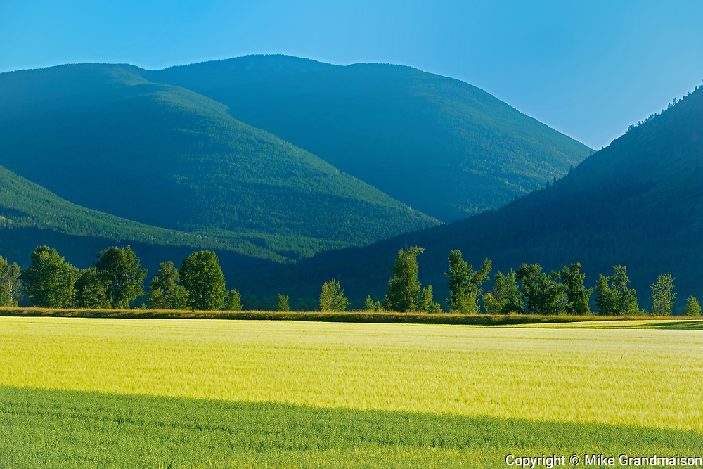 Fields of oats and 2-row barley, Creston, British Columbia, Canada