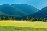 Fields of oats and 2-row barley, Creston, British Columbia, Canada