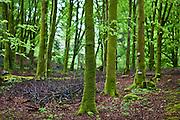 Woodland covered in green moss on Dartmoor, Devon, UK.