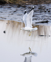 Seagull Flying over reflection