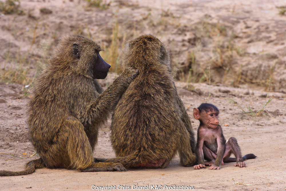 Three olive baboons, two adults and one infant, grooming each other.