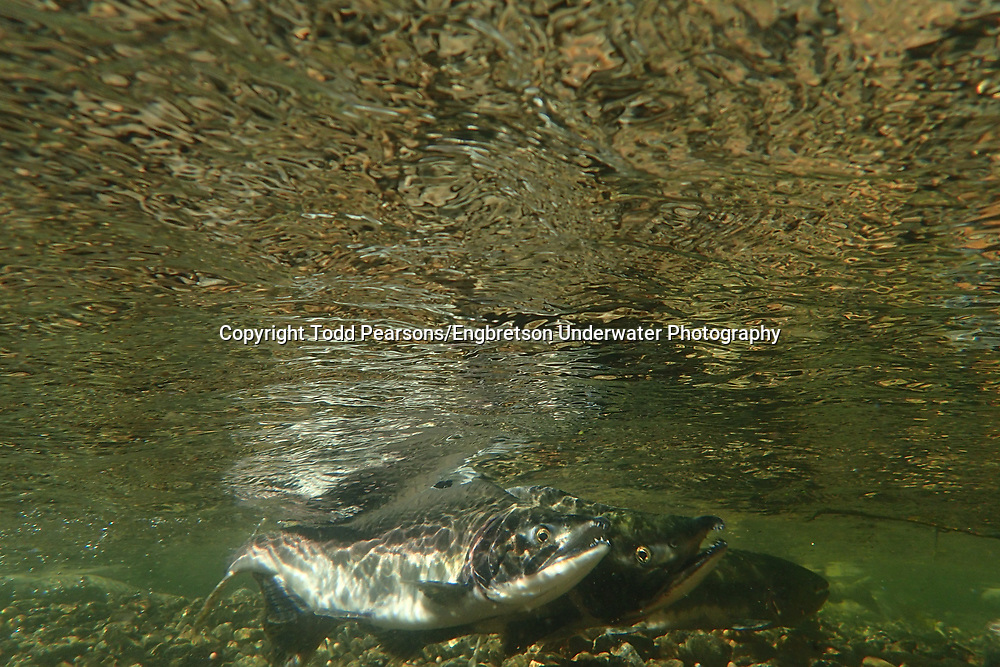 Pink Salmon<br /> <br /> Todd Pearsons/Engbretson Underwater Photography