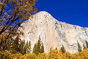 Fall color under El Capitan, Yosemite Valley, Yosemite National Park, California