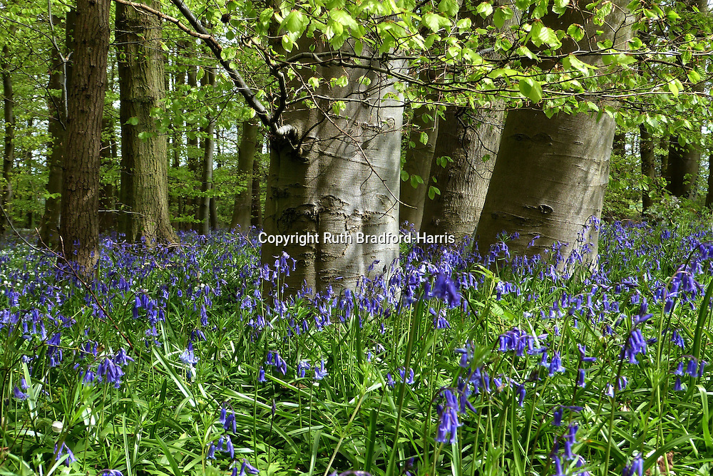 Shafts of sunlight illuminate a carpet of English bluebells (Hyacinthoides non-scripta) and native Beech (Fagus sylvatica) tree trunks in Southrey Wood, Lincolnshire.  <br /> <br /> The Lincolnshire Limewoods are scattered remnants of ancient woodland, the largest area of woodland dominated by Small-leaved Lime in Britain. The species was thought to have been introduced to Britain but is now considered to have been native.<br /> <br /> Date taken: 01 May 2015.