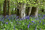 Shafts of sunlight illuminate a carpet of English bluebells (Hyacinthoides non-scripta) and native Beech (Fagus sylvatica) tree trunks in Southrey Wood, Lincolnshire.  <br />