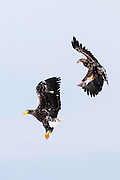 JAPAN, Eastern Hokkaido.Sub-adult white-tailed sea eagle (Haliaeetus albicilla) with fish in flight eluding the attempt of a Steller's sea eagle (Haliaeetus pelagicus) to snatch the fish