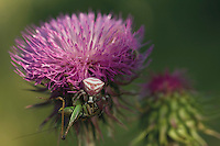 A crab spider (probably Thomisus onustus) of the Tomisidae family, preying a bush-cricket of the Tettigoniidae family, on a musk thistle (Carduus nutans - =Carduus macrocephalus), near Skrka lake. Hutovo Blato Nature Park. Bosnia-Herzegovina. May 2009<br /> Elio della Ferrera / Wild Wonders of Europe